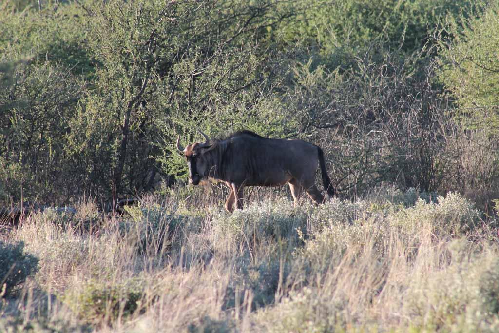 blue-wildebeastgnu