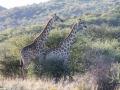 2-giraffer