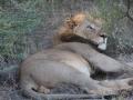 lejon-male
