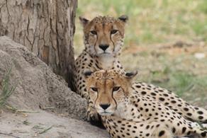 Två vilande Geparder